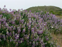 Headlands lupine